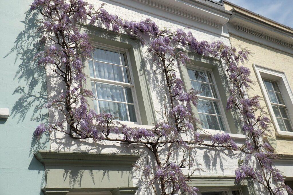 white wooden sash windows with wisteria